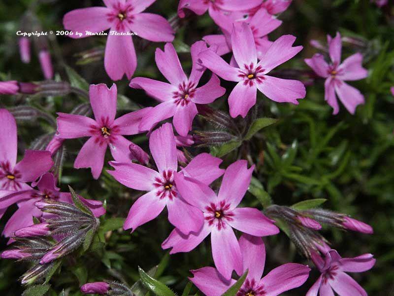 Phlox Subulata Moss Pink