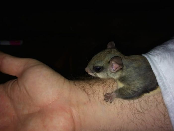 Man Transforms Dying Animal Into A Healthy One And Almost Breaks The Internet Flying Squirrel Squirrel Baby Flying Squirrel