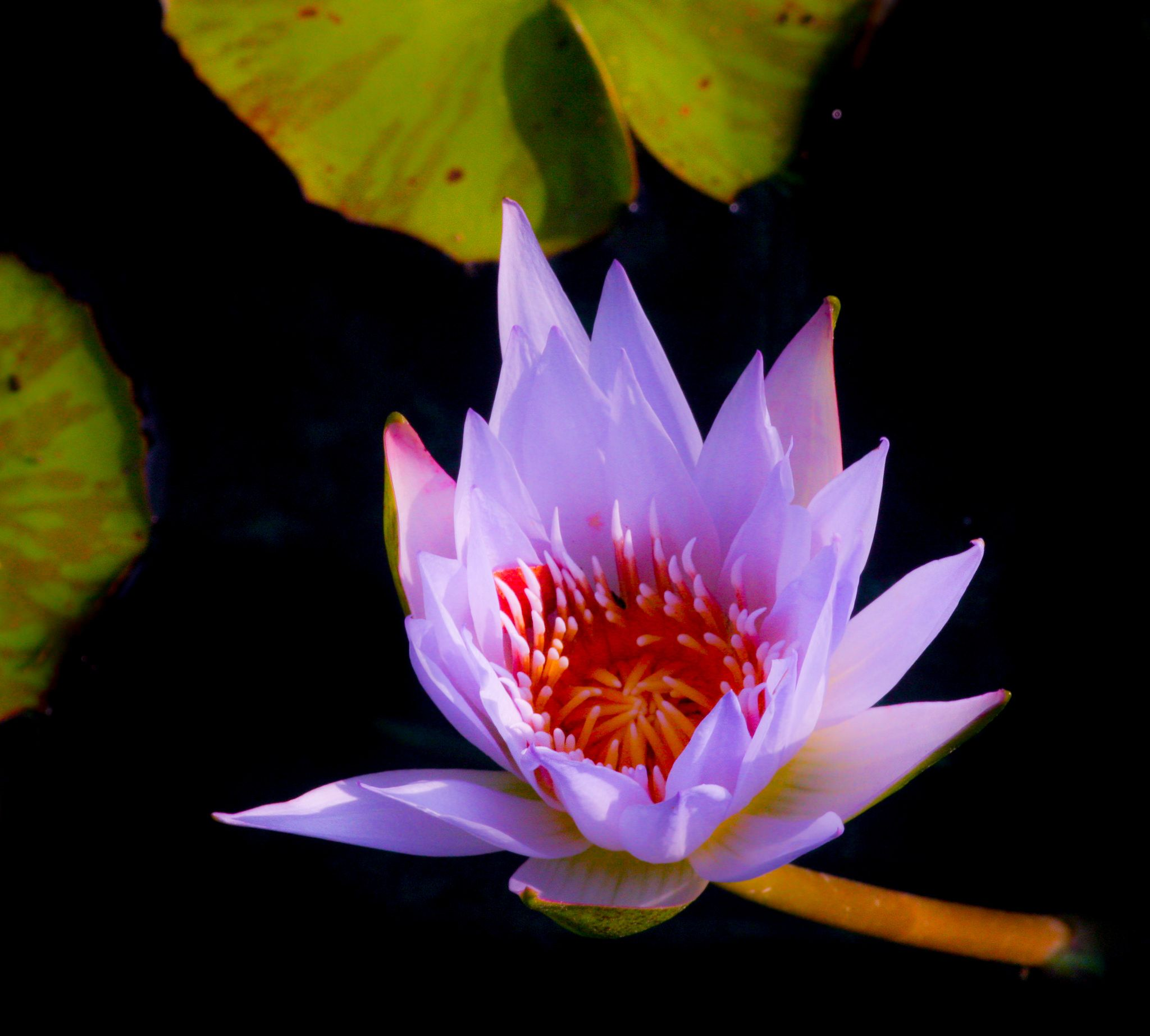 https://flic.kr/p/xvfMtA | Lilac Lily | One perfect waterlily at the Fort Worth Botanic Gardens