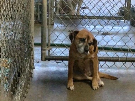 Senior Boxer Found Stiff And Shivering On Country Road In Need Of Support Friday Dog Country Roads Dog Adoption