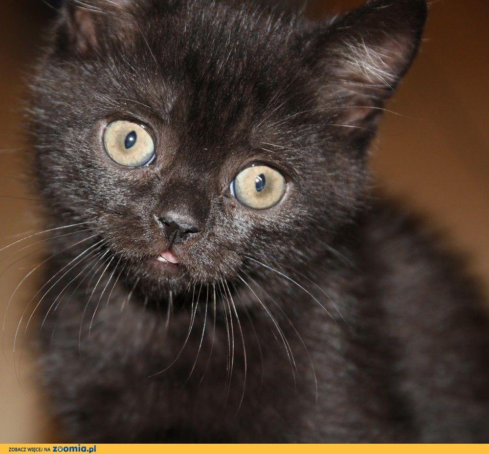 Amigo Yuffie Pl Czarny Kocurek Brytyjski Z Rodowodem Szczegoly Http Zoomia Pl Ogloszenie Koty Kot Brytyjski Cats Animals Adoption
