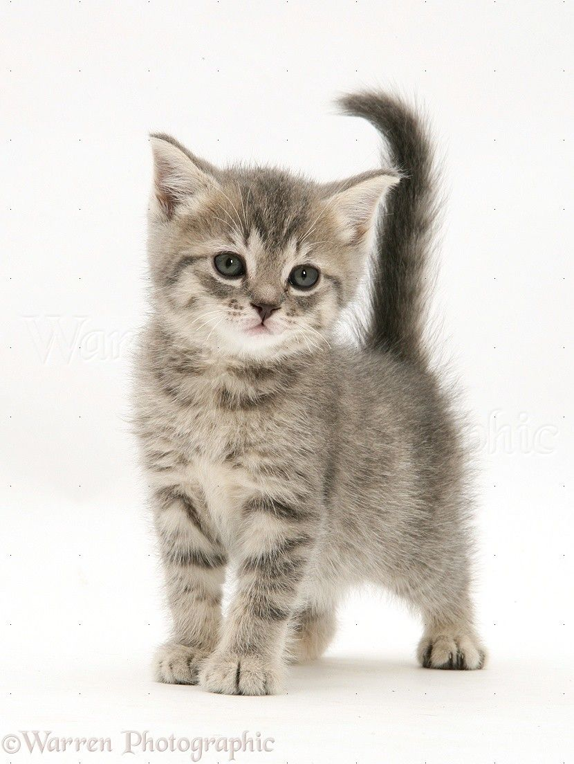 Grey Tabby British Shorthair Kitten Photo Wp32961 Catsincare