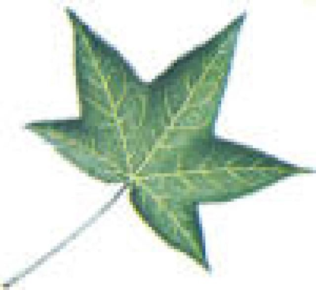 Liquidambar Styraciflua Sweetgum Fall Leaves Botanical Drawings Leaves Autumn Leaves
