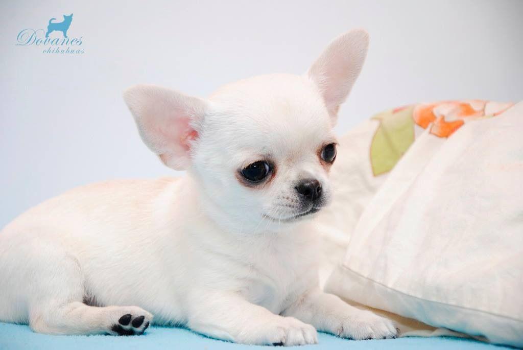 Chihuahua puppy chihuahua love cute animals