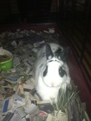 Petfinder Adopted Rabbit   Netherland Dwarf   Cream Ridge, NJ   Ridge