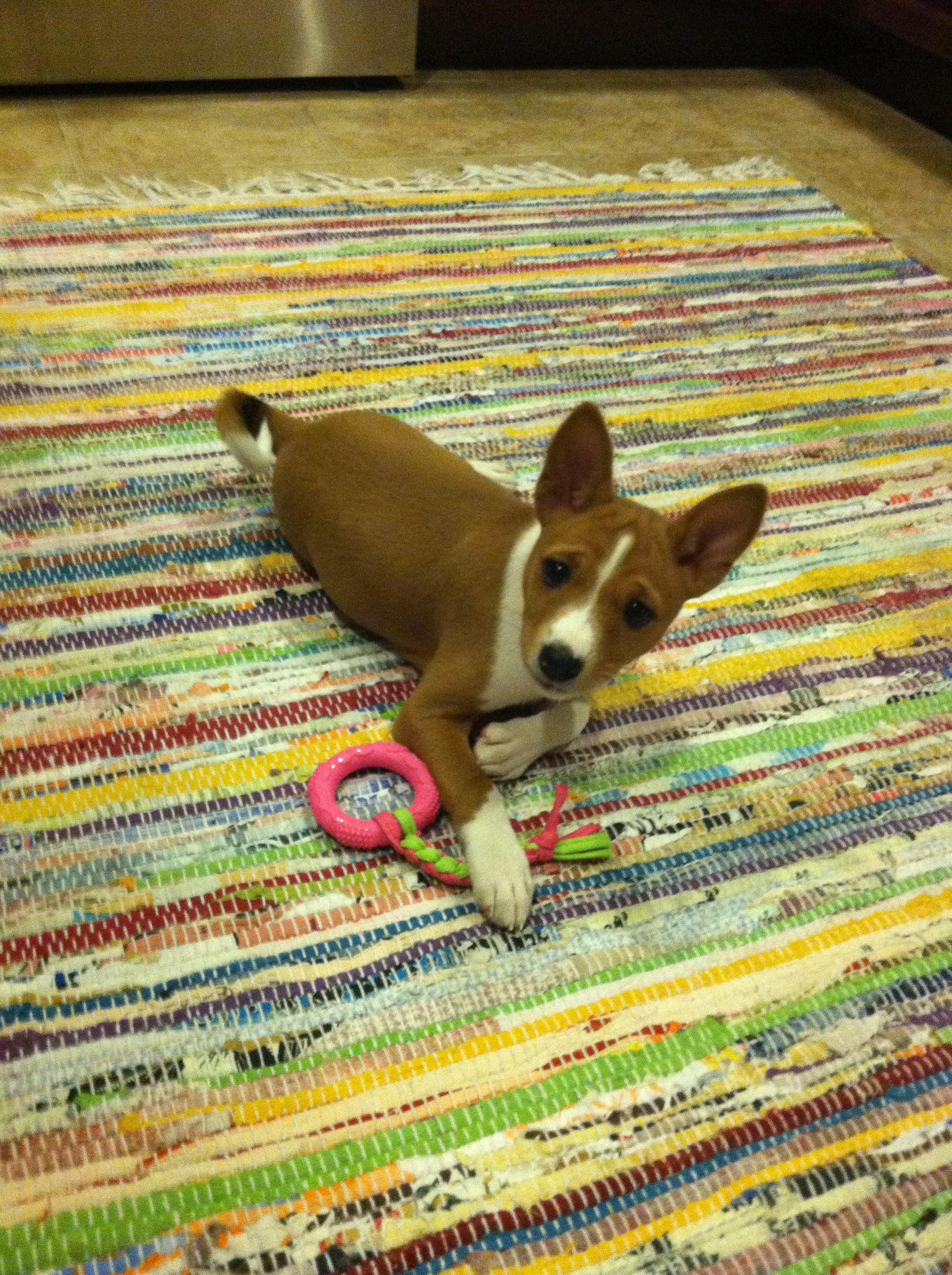 Cleo my basenji puppy dog basenji animal basenji