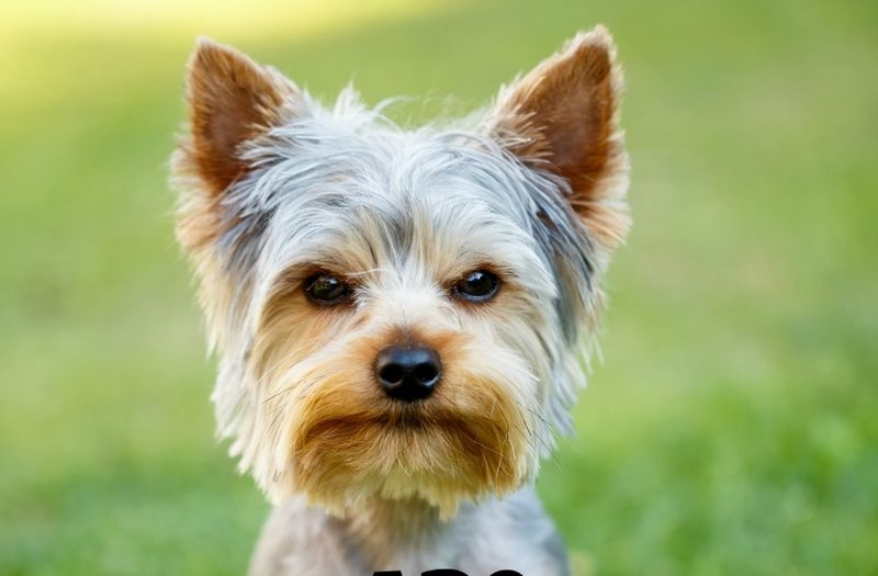 list of small hypoallergenic dog breeds toy breeds hypoallergenic
