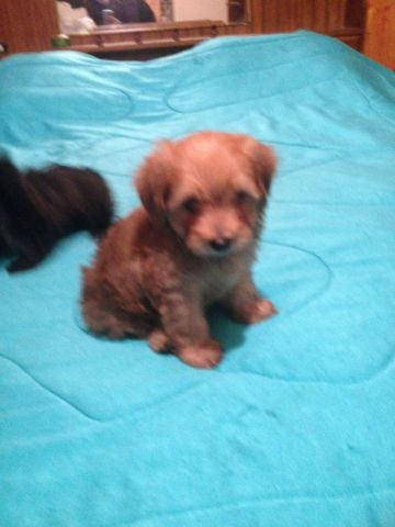 Yorkie Mix Poodle Puppies In Ottawa Gatineau Area Ontario Poodle Puppy Yorkie Mix Yorkie