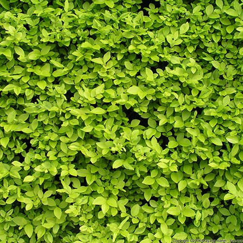 Broadleaf shrub stay green all year landscaping for Green bushes for landscaping