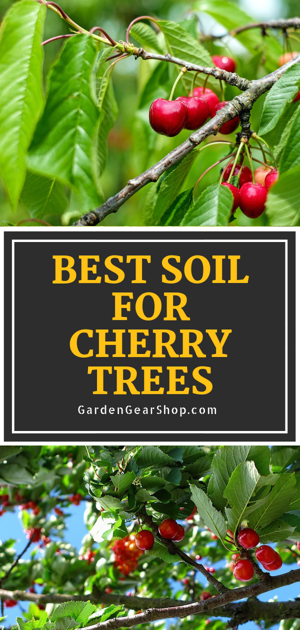 Best Soil For Cherry Trees Growing Cherry Trees Planting Cherry Trees Cherry Trees Garden
