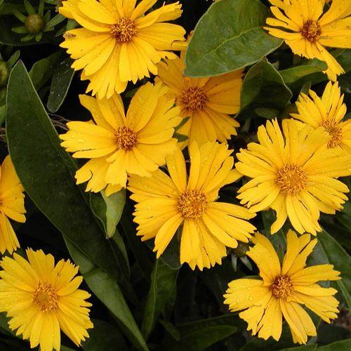 COREOPSIS lanceolata 'Goldfink' (Coréopsis Lancéolé) : Plante peu exigeante, résistante à la sécheresse, à longue et abondante floraison, aime le plein soleil. Végétation naine. Fleur jaune d'or.