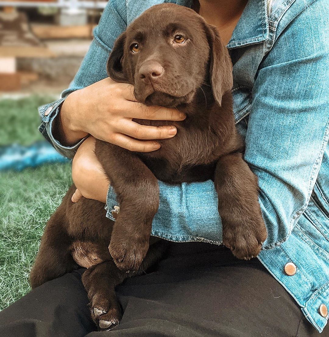 Beautiful Lab Puppy ???????? | via @chocolatelab_bailey on Instagram #labradorretrieverpuppies