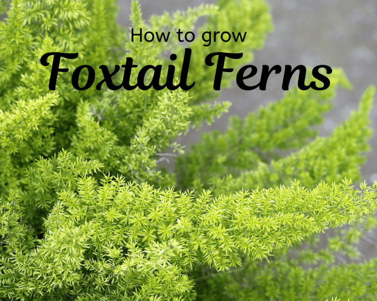 Foxtail Fern Care Gardenologist In 2020 Foxtail Fern Ferns Care Fern Houseplant