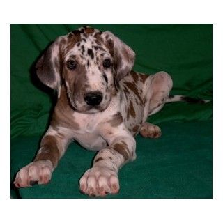 Akc Fawnequin Great Dane Puppies Dane Puppies Great Dane Puppy