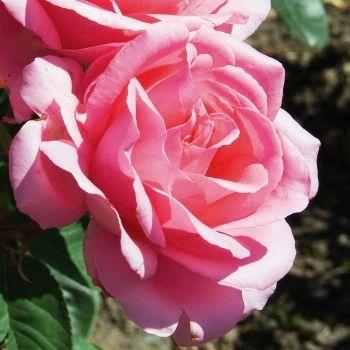 Rosier diane de poitiers pot de 3 litres roses pinterest diane rosier et pots - Le jardin des fleurs poitiers ...