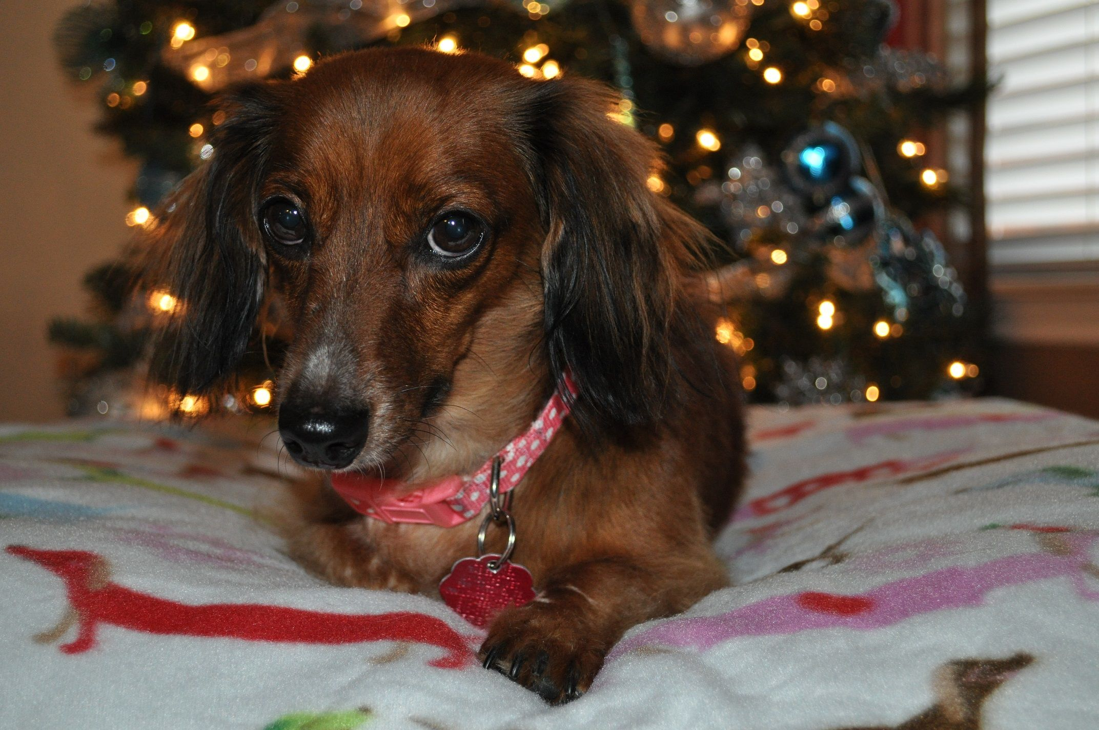 Dachshund dog for Adoption in San Antonio, TX. ADN-418561 on PuppyFinder.com Gender: Female. Age: Adult
