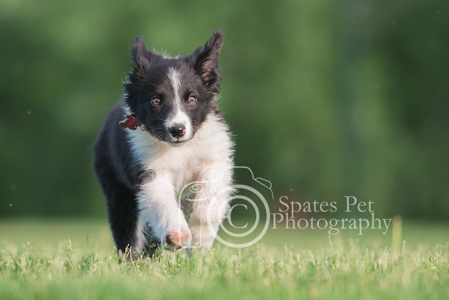 Pin By Sandy Poerink On It S A Dog Thing Collie Puppies I Love Dogs Aussie Dogs