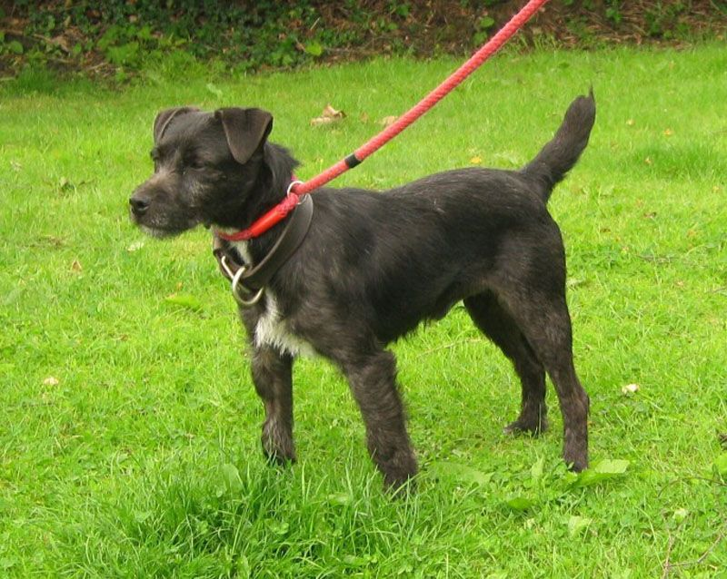 Patterdale Terier Picture Terrier Dogs Terrier