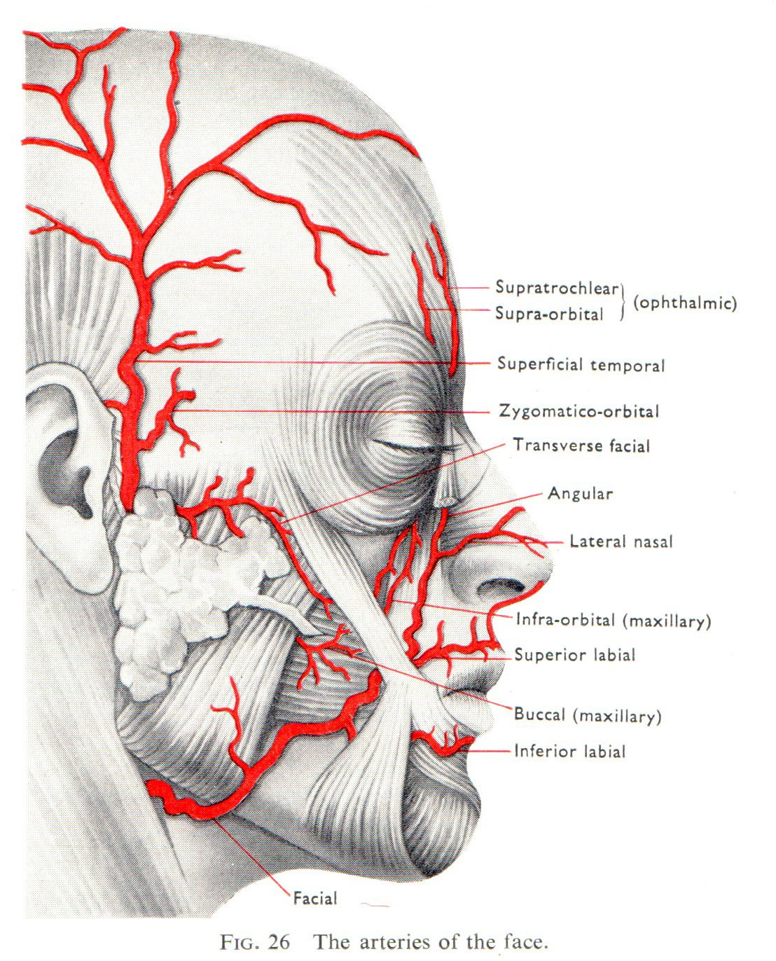 Facial arterial blood supply | Aesthetics | Pinterest | Anatomía ...
