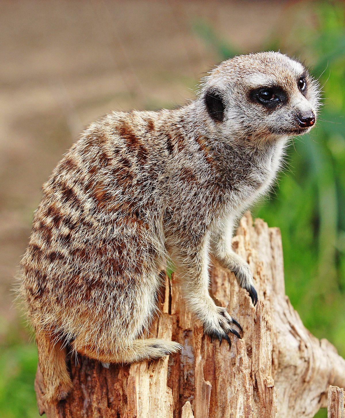 Meerkat Simple English Wikipedia, the free encyclopedia