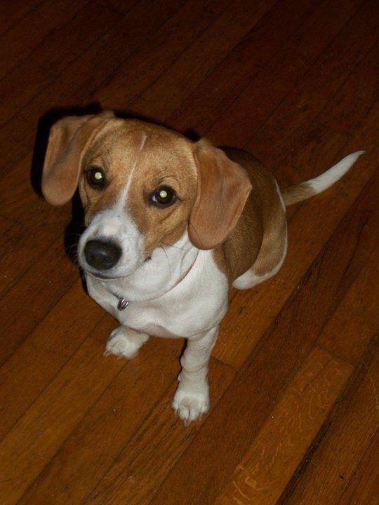 Jack Russell Beagle Mix jack russel/ beagle mix Lilly