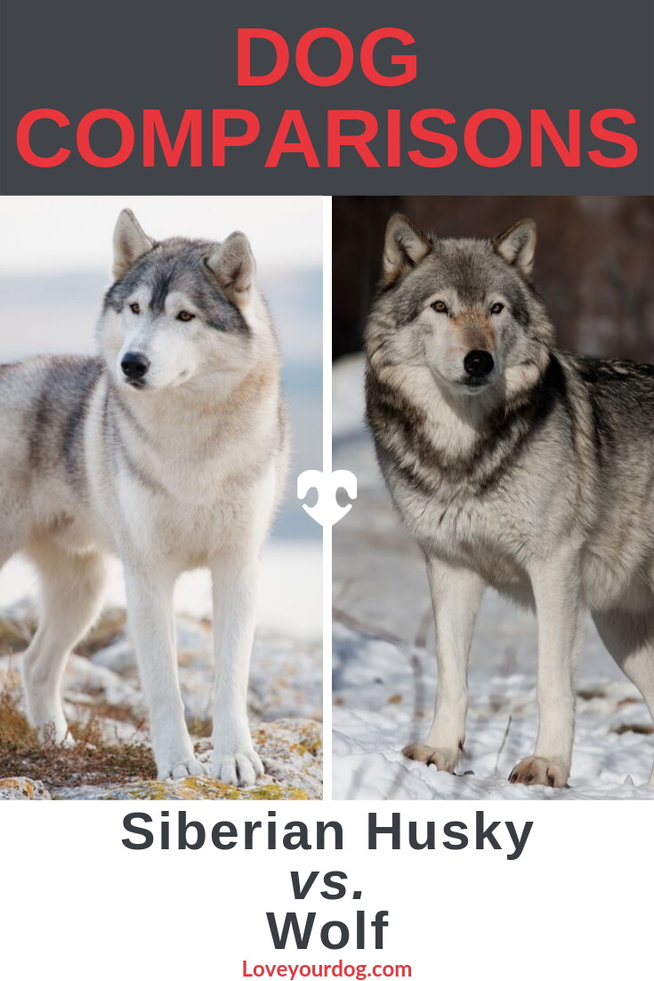 Siberian Husky vs. Wolf Are They Related? (Differences
