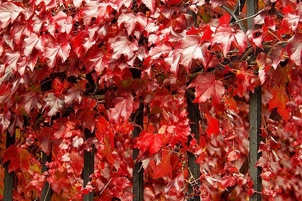 'Wilder Wein' mit herrlicher Herbstfärbung