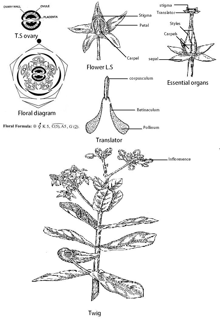 Image result for murraya koenigii floral diagram education image result for murraya koenigii floral diagram ccuart Gallery