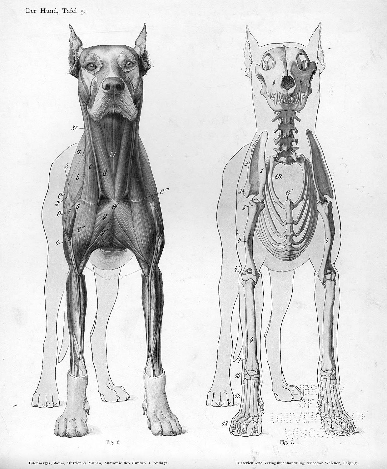 Dog front - Animal Anatomy Artist Reference. | Animal Anatomy Artist ...