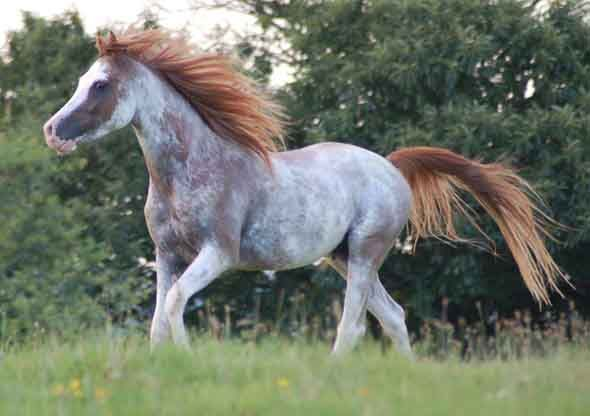 """""""Windsong Firefrost"""" - Chestnut extreme sabino Arabian stallion with a very rare pattern.  (photo by  Elements Arabians)"""