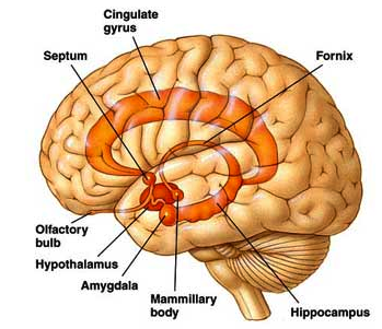 Hormesis and the limbic brain articles pinterest brain and yoga hormesis and the limbic brain premotor cortexprimary motor cortexbrain diagramlimbic ccuart Image collections
