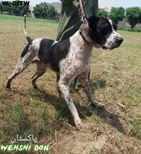 Wehshi Don From Pakistan Large Dog Breeds Sporting Dogs Dogs