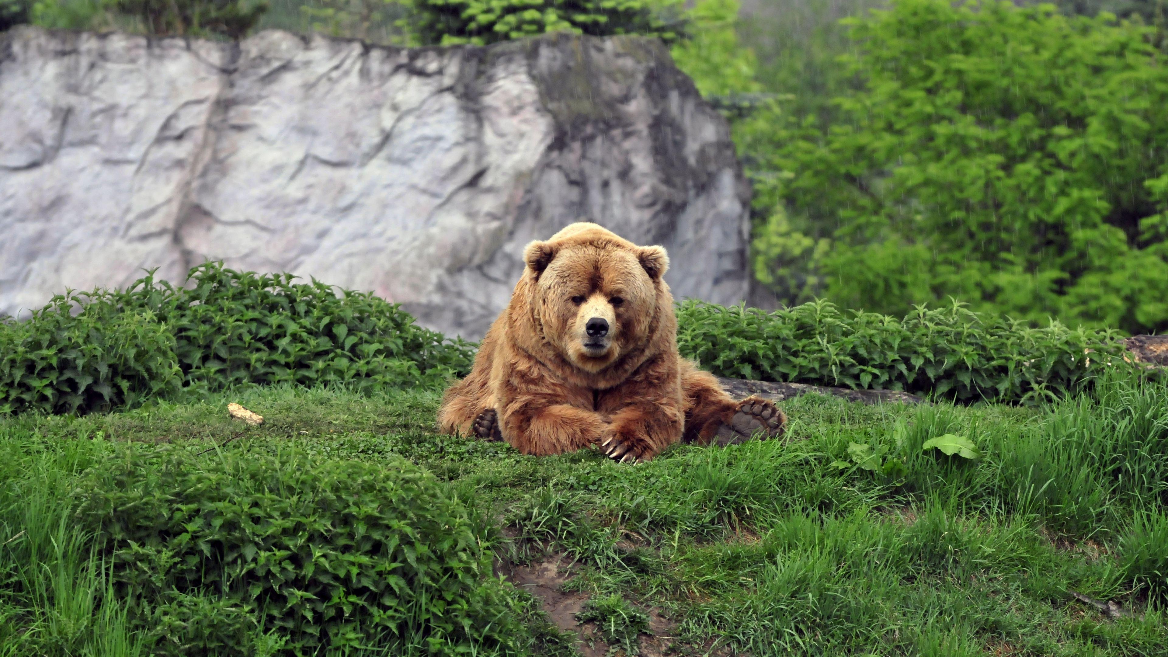 3840x2160 wallpaper bear brown grass funny lie animal