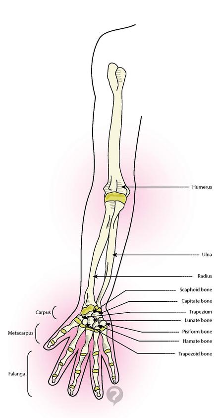 Hueso de escafoides - Definición | ANATOMIA | Pinterest | Huesos y ...