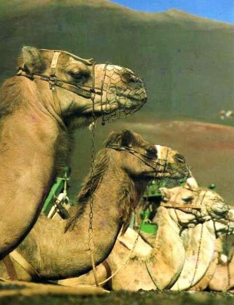 Camellos de Lanzarote