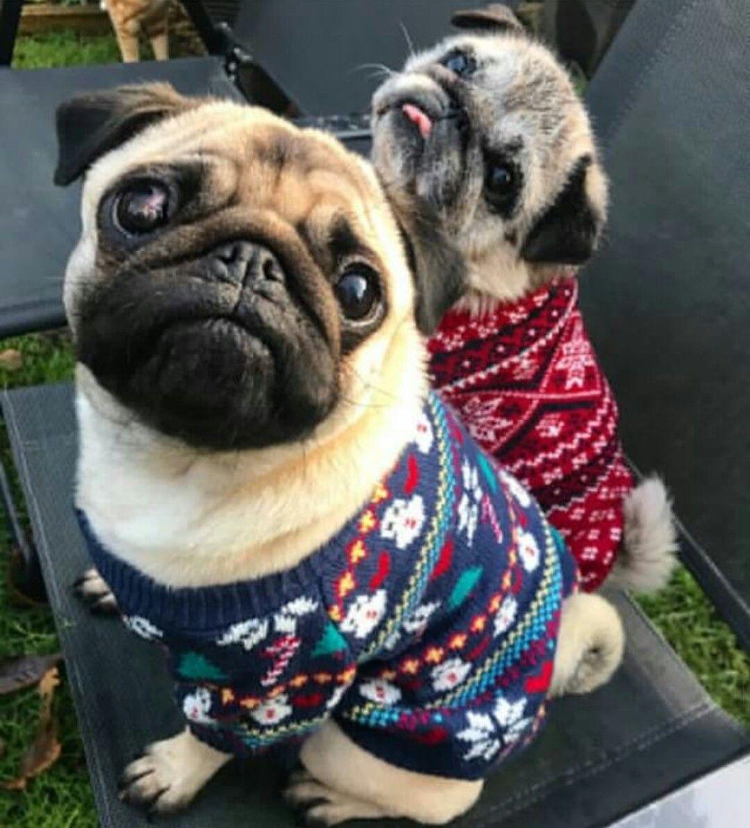 Fuzzy Pug Love Cute Pugs Pugs Funny Pugs