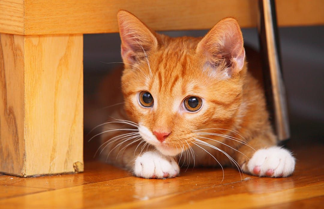 70 Ginger Cat Names Cute Hilarious Names You Ll Love Ginger