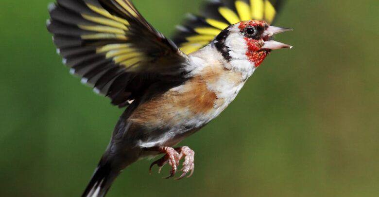 طائر الحسون غذائه وحياته ومعلومات غريبة حول صوته Animals Bird Image