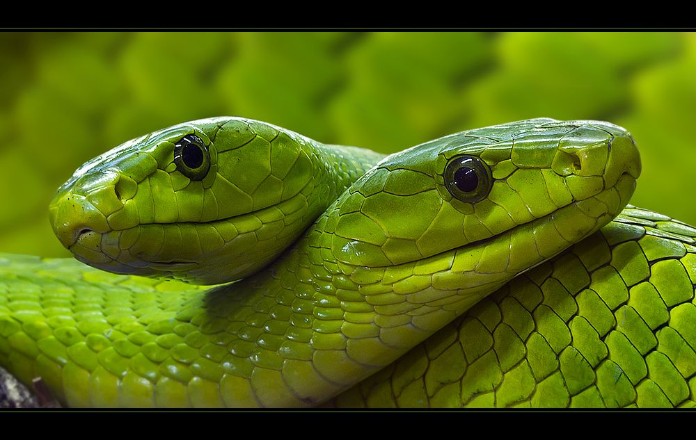 Green Mamba Dendroaspis Angusticeps Snake Reptile Venomous Africa Tiere Tier Fotos Reptilien
