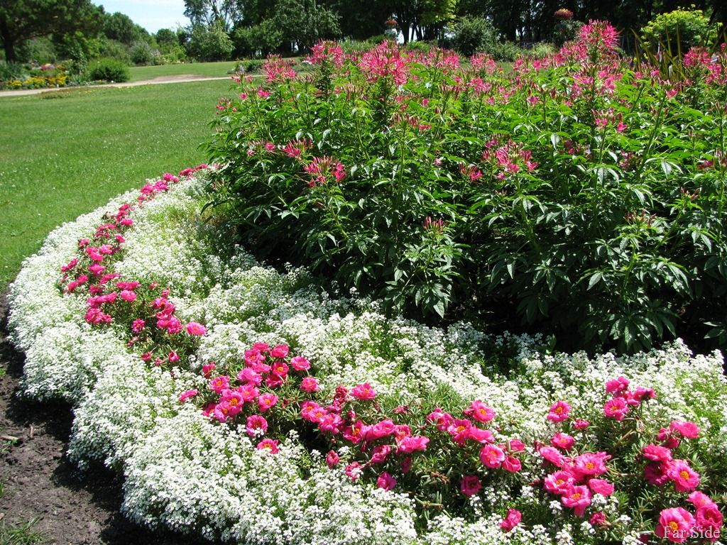 in the pink far side of fifty alyssum flowers alyssum on sweet dreams for your home plants decoration precautions and options id=18721