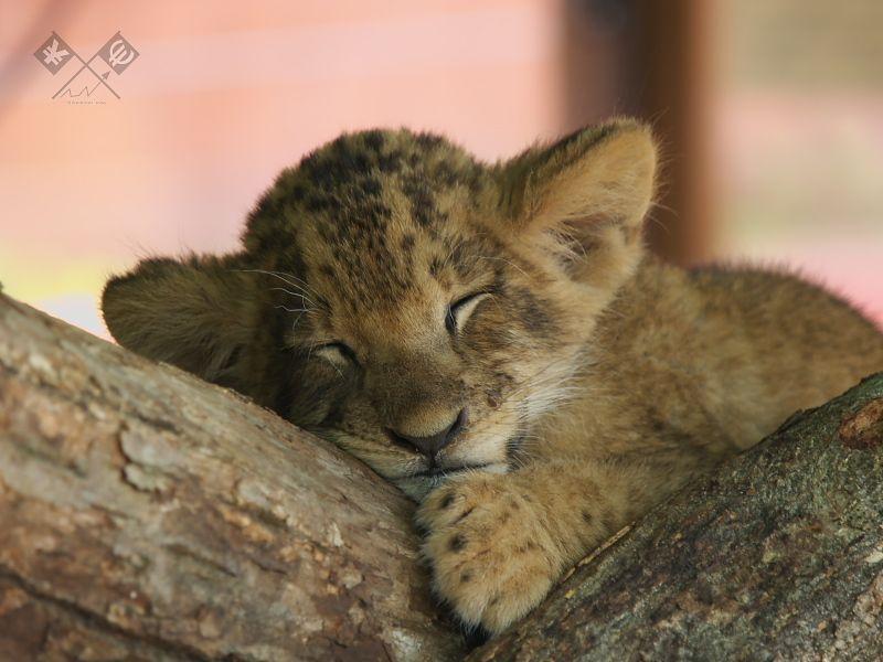 Baby Lion 赤ちゃんライオン キュートな猫 可愛すぎる動物