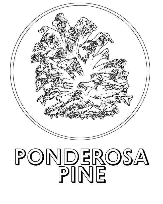 ponderosa pine coloring page google search