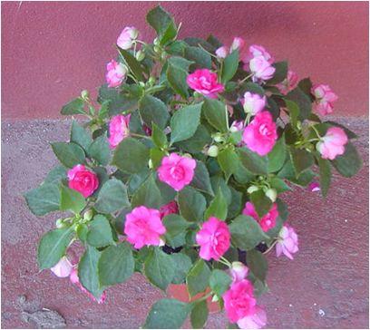 Alegria del hogar flores en macetas leonardo wolf palmeras plantas de interior y follaje - Planta alegria del hogar ...