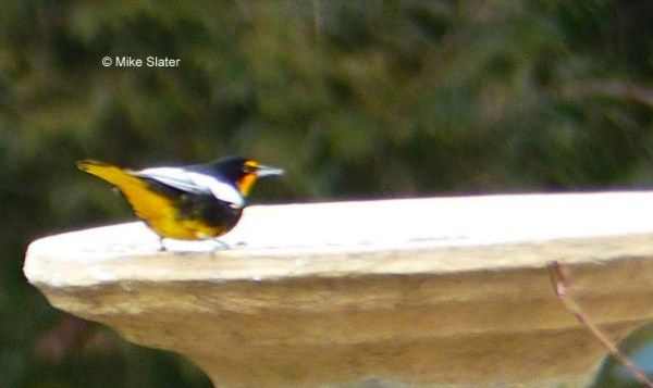 ABArare Black Backed Oriole Pennsylvania ABA Blog Waiting On This One