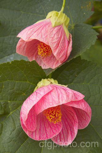 Abutilon Hybridum Kristens Pink Growing In A Pot In My Garden