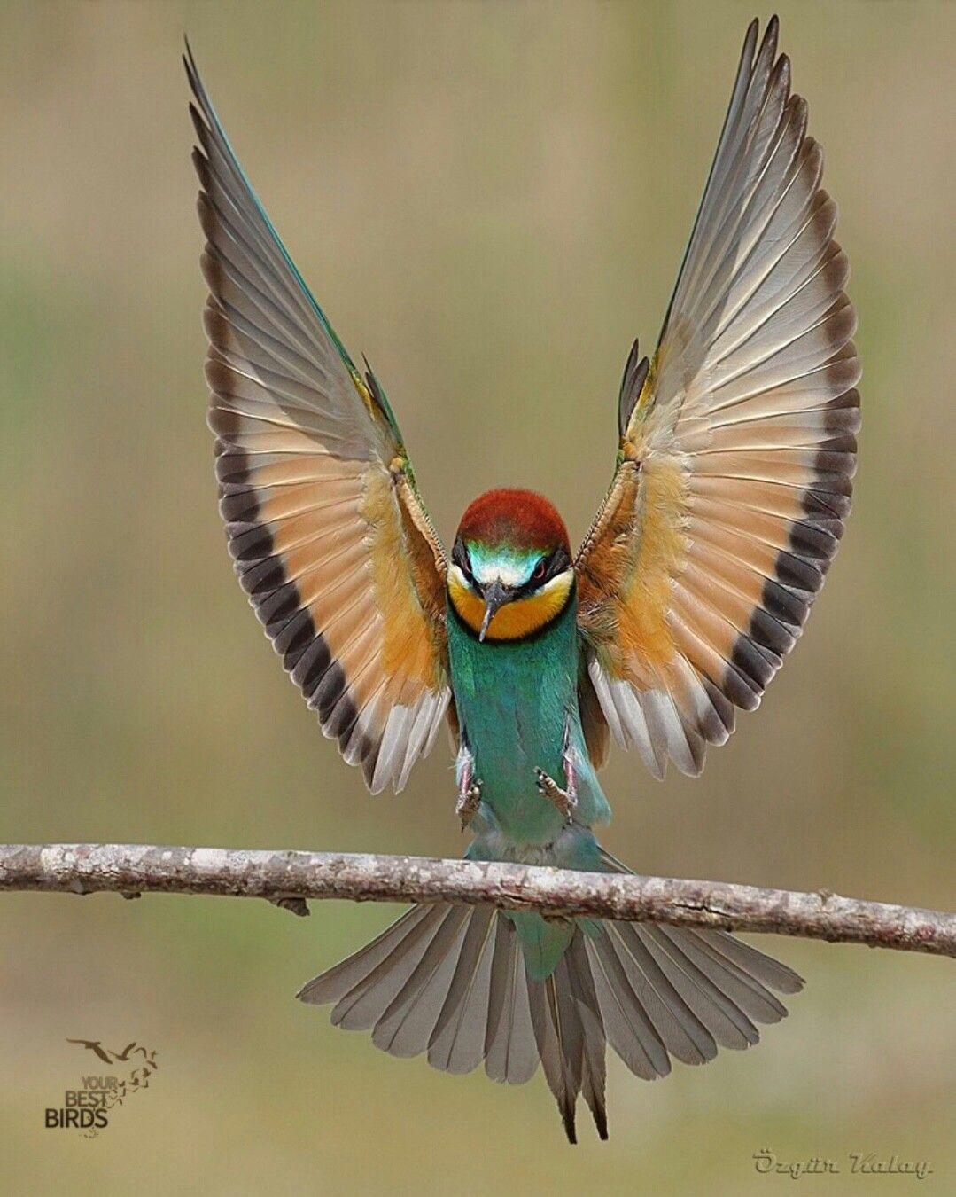 Ozgurkalay80 Bird Of The Day Bee Eater Location Turkey Bird Pictures Birds Flying Bird Photography