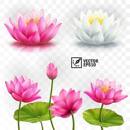 , 3d realistic vector set of white and pink lotus flowers, stems and…, My Tattoo Blog 2020, My Tattoo Blog 2020