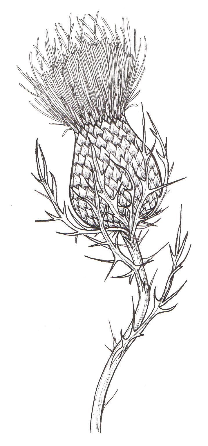 Black Line Drawing Tattoos : Thistle own sketch … piercing in