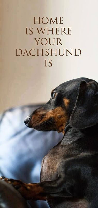 Home Is Where Your Dachshund Is All About Dachshund Dachshund