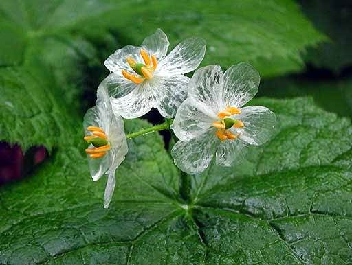 Diphylleia grayi also known as the skeleton flower' has petals that turn transparent with the rain. Diphylleia grayi is native to moist wooded mountainsides in colder regions of China and Japan, where you'll find the large fuzzy green, umbrella-like, bold foliage topped by small clusters of white, may apple-like flowers in late spring.